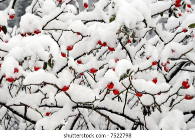 Dogrose berries in snow