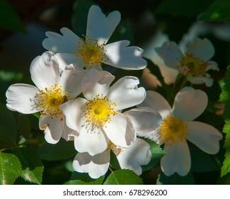 dog-rose, briar, brier, canker-rose, eglantine. rose flowers. rose flowers in the mountains