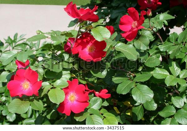 Dog-rose bush near the walk.