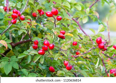 Dog-rose fruit. Healing properties. phytotherapy. Treatment with medicinal plants. Ascorbic acid. antioxidant effect. malic and citric acids, beriberi. the vessels are strengthened. tonic