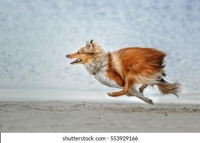Dog-Running Shetland Sheepdog