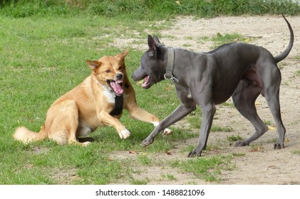 Dogs about to fight fighting dogs uncertainty Thai Ridgeback Dog and  Canaan Dog