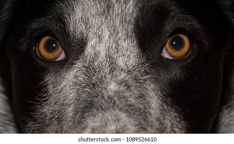 Dog's attentive stare just above the viewer, closeup and anticipating