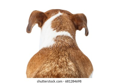 Dog's back of the head neck. Jack Russell terrier portrait from behind.  White background