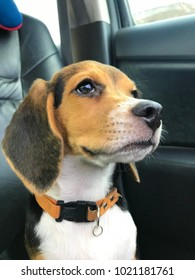 Dogs beagle are very naughty. Have a unique look.