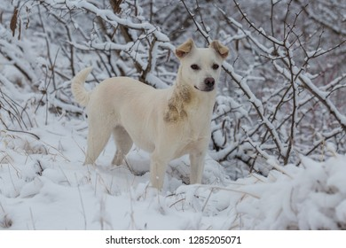 Dogs with blue eyes play in the snow in winter, Beautiful portrait of a pet on a sunny winter day