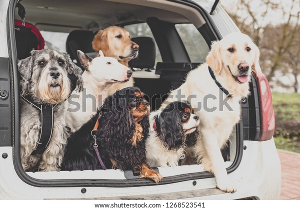 the dogs in the car sit together