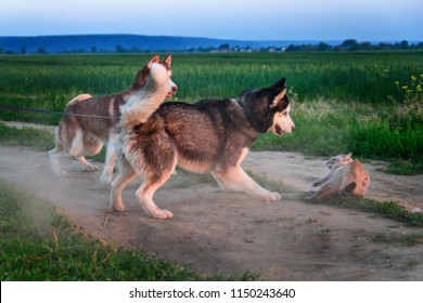 Dogs caught cat. Two siberian huskies caught a siamese cat on road. Cat is protected from attack. Dogs vs. cats play.