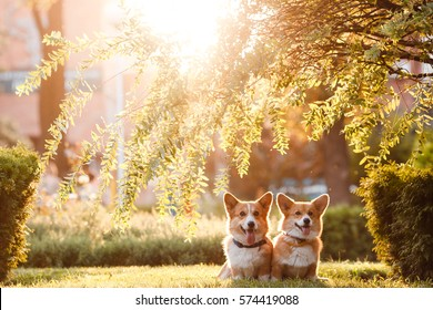 dogs Corgi sitting under the tree in sunset