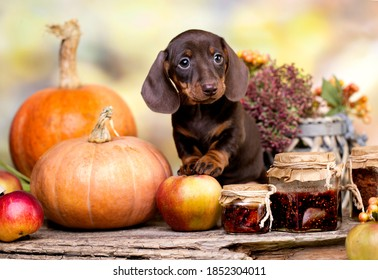 Dogs dachshunds puppy and autumn decor from pumpkins, berries and leaves