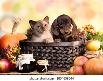 Chiens, dachshunds, chiot et chaton, décoration d'automne à base de citrouilles