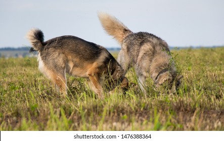 Dogs dig in the field