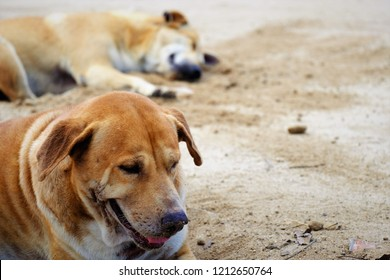 Dogs dig the sand to get a cool sleep