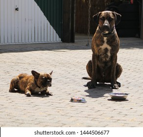 Dogs are feeding, dogs are sitting and waiting for them to eat. brindle dogs. French bulldog and brindle rhodesian ridgeback