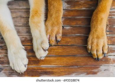 Dog's feet on wooden floor