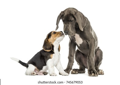 Dogs getting to know, Great Dane and Beagle puppy , isolated on white