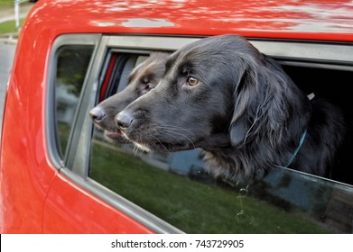 Dogs Head Out Window
