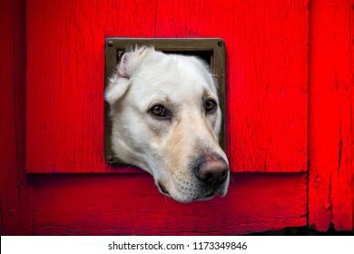 Dogs head through cat flap in red wooden door - landscape format