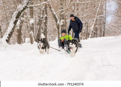 Dogs of the Husky breed ride the child on the sled in winter