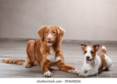 Dogs Jack Russell Terrier and  Nova Scotia Duck Tolling Retriever  portrait on a studio color background