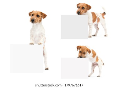 dogs jack russell terrier peeking out of the banner