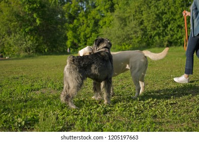 Dogs Labrador and Mittelschnauzer in the summer glade.