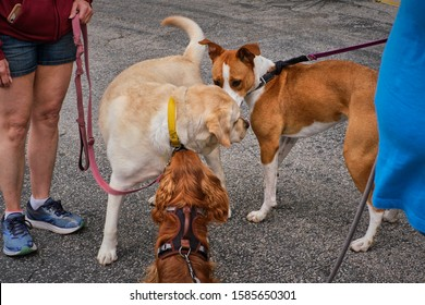 Dogs meeting each other on a walk in the park. Cavalier King Charles Spaniel, Labrador Retriever and friendly brown and white dog