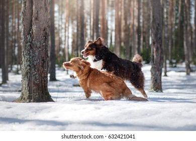 Dogs of the New Scotland Retriever and Australian Shepherd in the nature, playful and happy, funny portrait