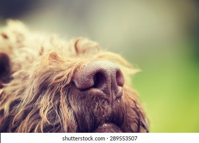 A dog's nose as a macro shot. The dog breed is Lagotto romagnolo also known as the truffle dog.