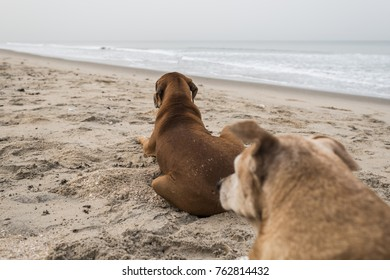 Dogs on the beach in Gambia, Afrika