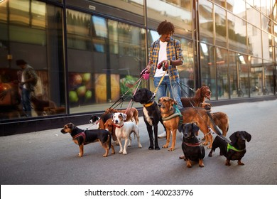 Dogs on the streets on leash with smiling man professional dog walker
