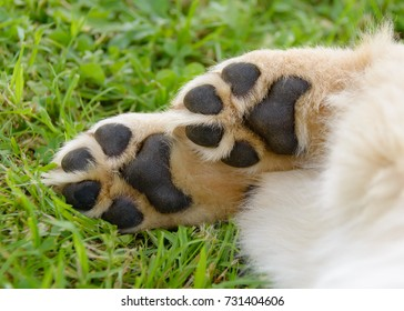 Dog's paws showing pads, Golden Retriever puppy