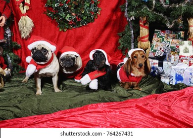 dogs, pets wishing a merry christmas all dressed like little Santas