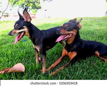 dogs pinscher in the grass