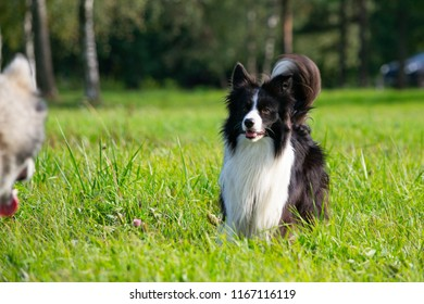 Dogs play with each other. Border Collie. Merry fuss. Young energetic dogs on a walk.