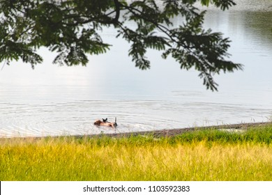 Dogs play in lake with meadow and tree