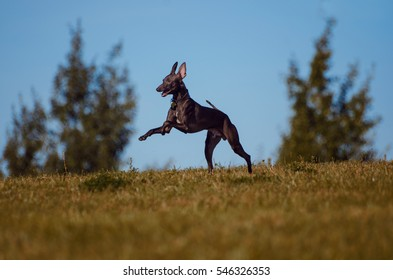 dogs play in the park, Italian greyhounds