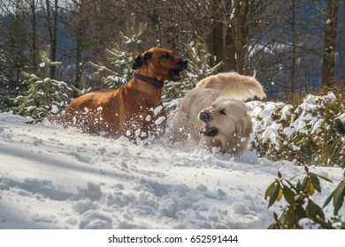dogs play in snow