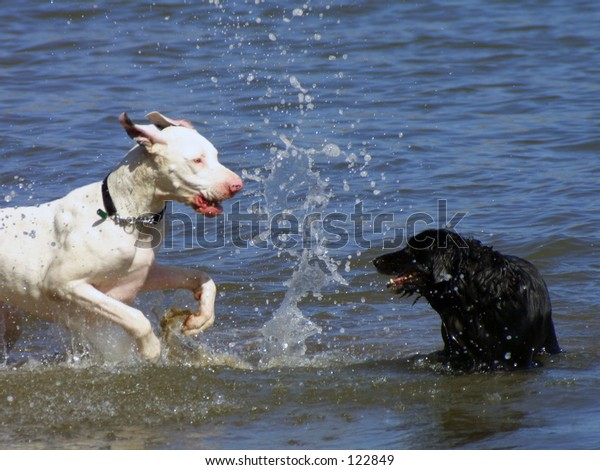 Dogs at play in water