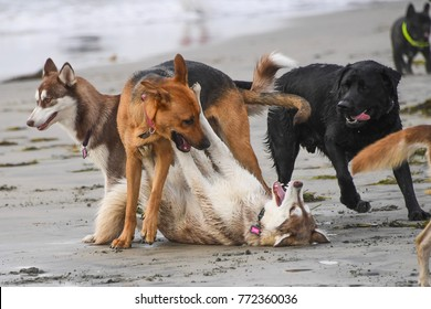 Dogs playing at the beach in Del Mar California