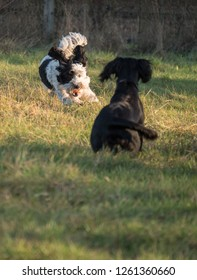 Dogs playing fetch, Springer spaniel, Cocker Spaniel & Labradoodle bitches