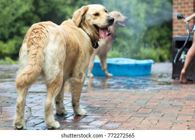 Dogs playing with hose in the summer heat