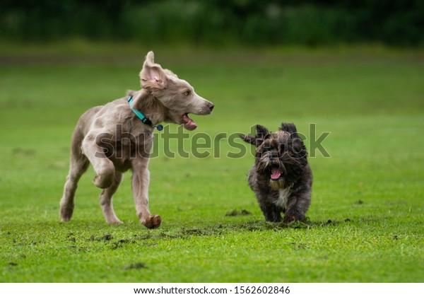Dogs playing and running in park