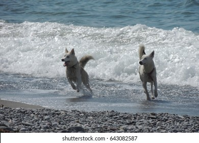 Dogs playing in the sea on the beach at Seaton in southeast Cornwall