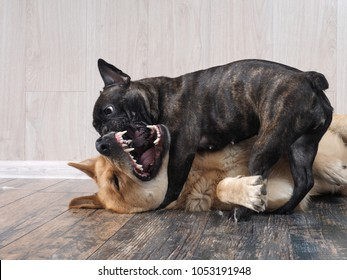 Dogs are playing. The terrible mouth of a large dog. Indoors. French bulldog and a mixed breed Akito-inu