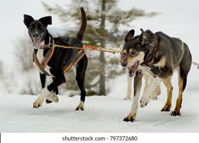 Dogs pull a sledge.