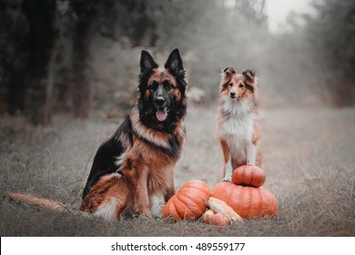 Dogs with pumpkin in autumn. Halloween dogs.
