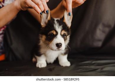 dogs puppies Corgi