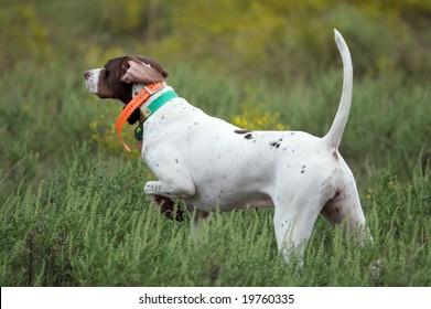 Dogs quail hunting