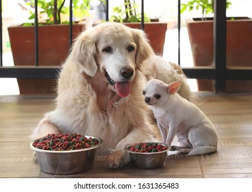 Dogs ready for their meal , golden retriever dog and chihuahua dog sitting close toghether on the floor with their food bowls in front of them.